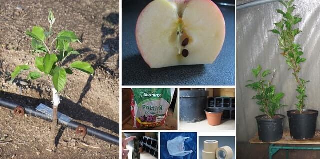 Способ выращивания яблони из семечки