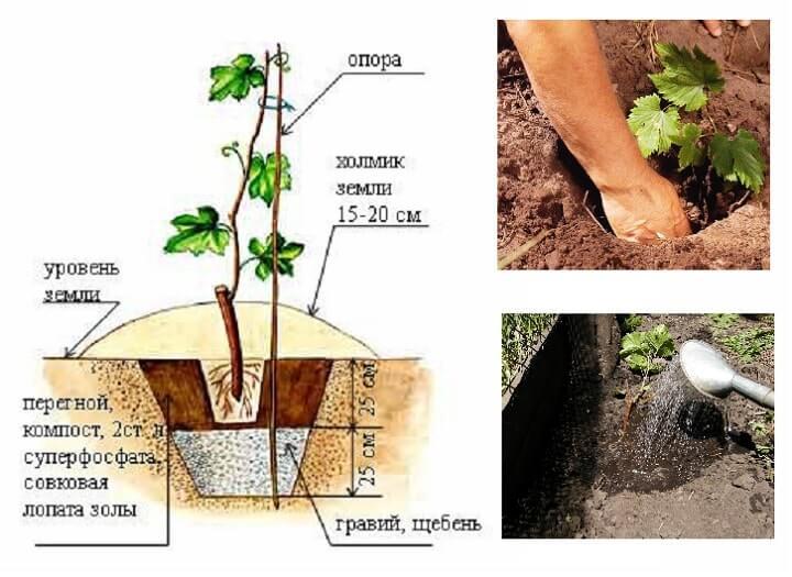 Дренажный способ посадки винограда