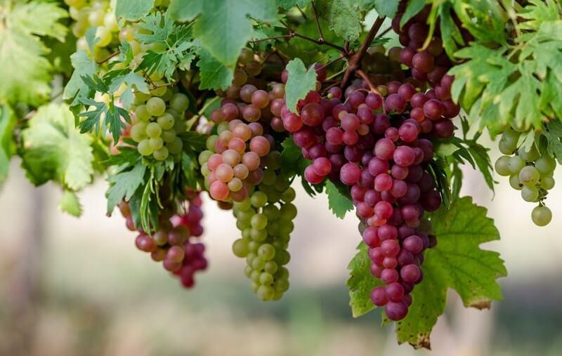 Умная посадка винограда: каким способом посадки лучше воспользоваться