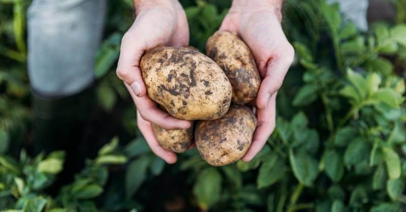 Чем удобрять картофель