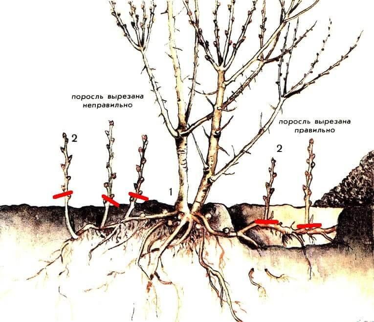 Как бороться с порослю вишни
