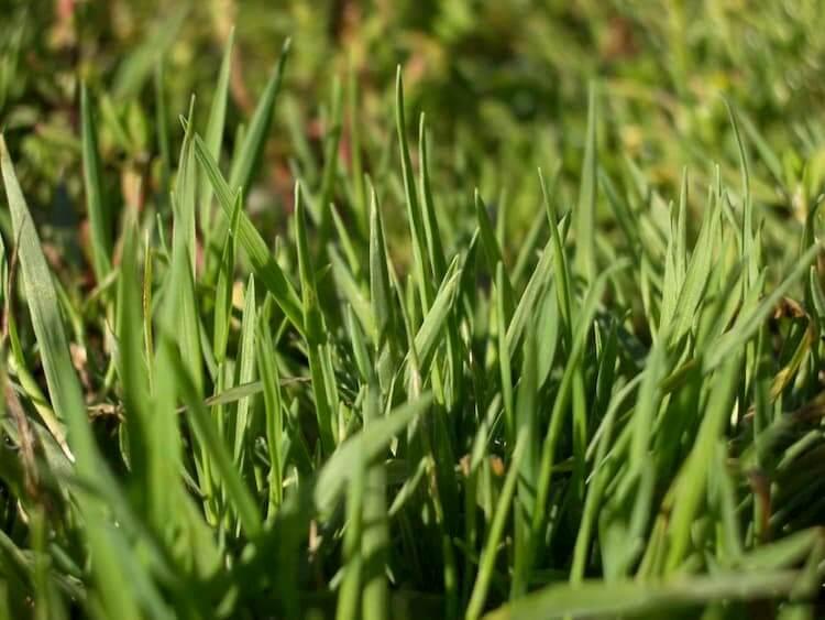 Выбор газонных трав