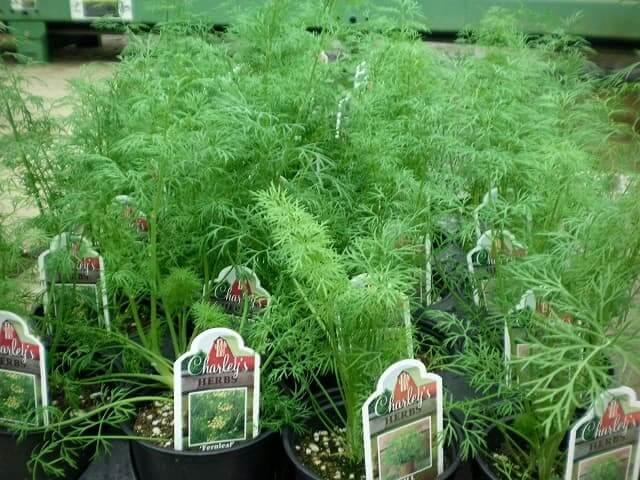 Секреты выращивания укропа