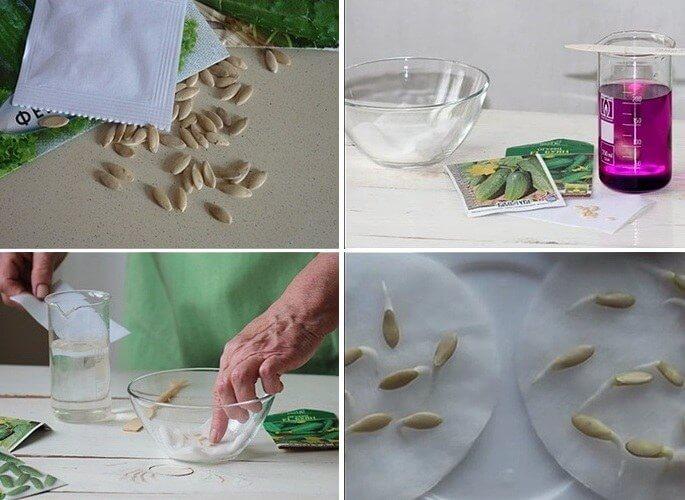 Правила замачивания семян огурцов
